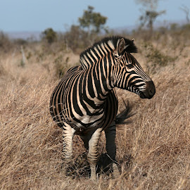 Stripes by Ann Cameron - Animals Other ( wild, kruger national park, in the wild, south africa, zebra, stripes, animal )
