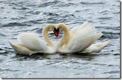 Swan-Heart