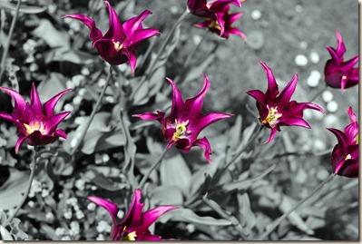 cluj-botanical-garden-tulips-3