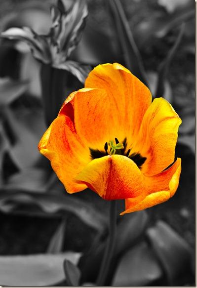 Cluj-Napoca-botanical-garden-orange-tulip