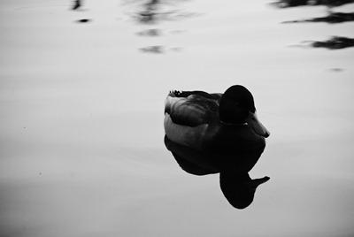 fall-ing-ducks-duck-2