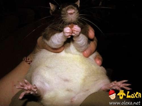 fat-animals-13
