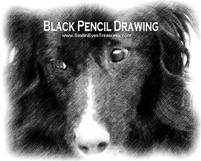 Border Collie Face Black Pencil Drawing