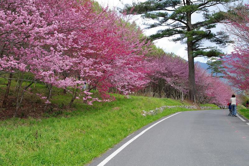 武陵農場梅花、櫻花(完整版)