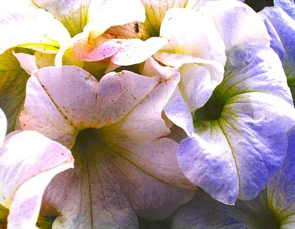 Blooming Petunias-B,E,F