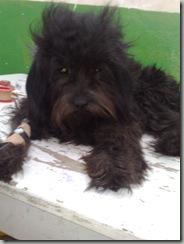 perro_atropellado_blacki (1)