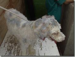 enfermedades_cutaneas_perros3