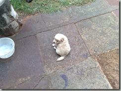 adopcion de cachorros