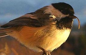 A cada 16 pássaros, um tem o bico deformado, segundo levantamento de pesquisadores