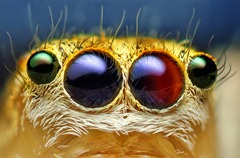 Armado com uma câmera digital comum com lentes macro, o americano Thomas Shahan tem nos artrópodes, como esta aranha de quatro olhos, um dos objetos prediletos de seu trabalho