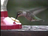 A yearly spring break visitor Humming bird