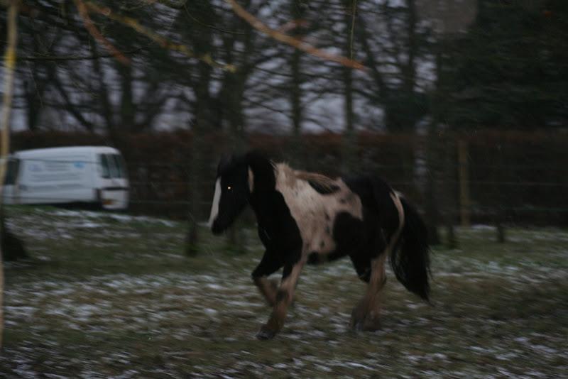 Le  calvados sous la neige... les chevaux s'éclatent! IMG_5030