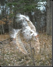 milkweed