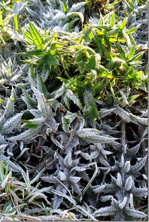 frost melting on plant