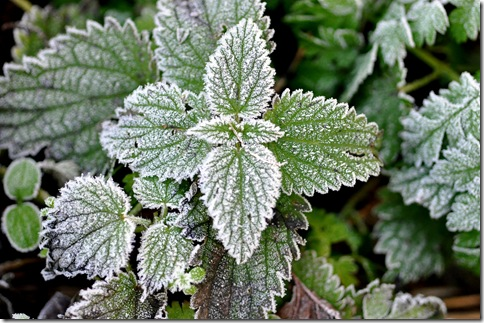 frost covered nettle
