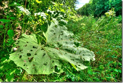 large leaf attacked by snails copy