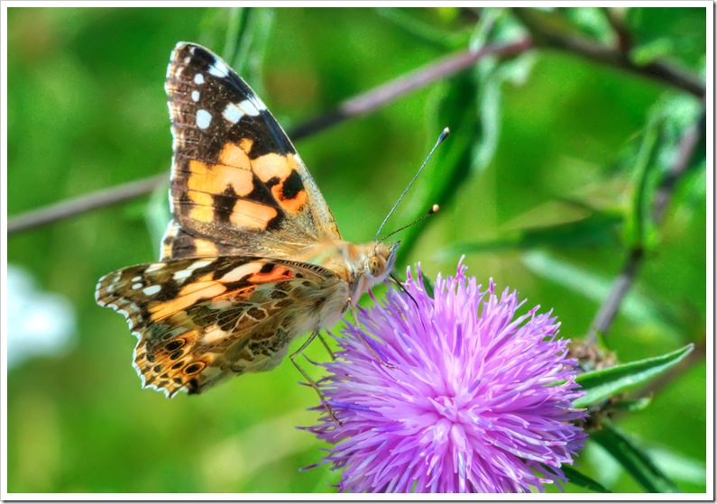 painted lady butterfly feeding