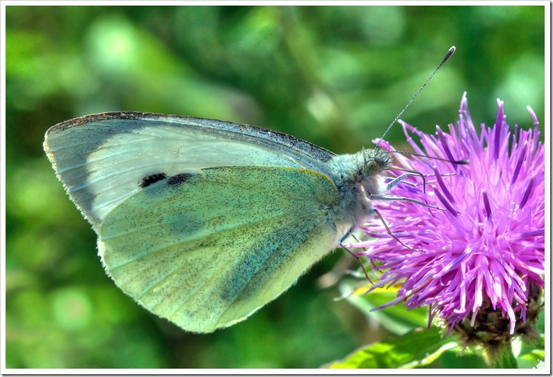 small white butterfly feeding