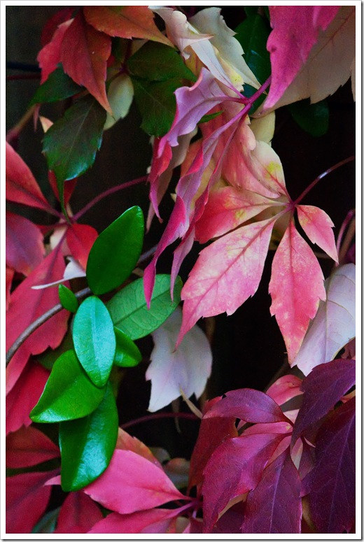 evergreen leaves and leaves turning red