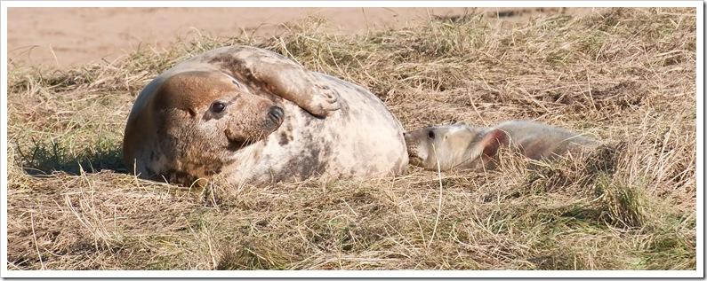 newborn seal pup suckling