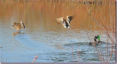 DuckCrop2611