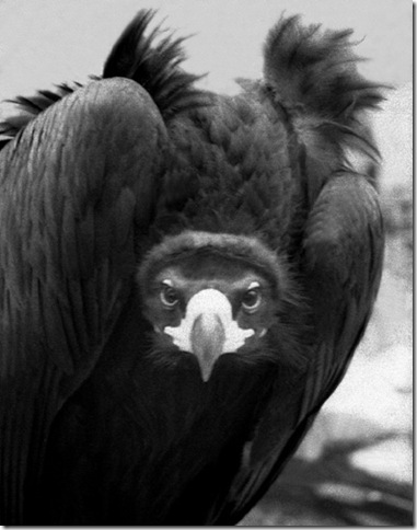 buitre-negro