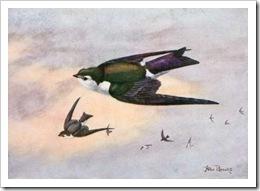 burungswallow