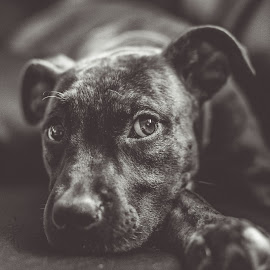 Puppy Dog Eyes Defined by Jessica Yahn - Animals - Dogs Puppies ( pet, boxer, puppy, dog, mutt )