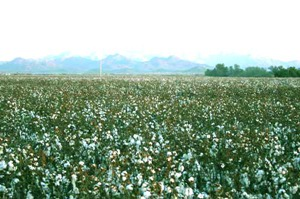 Farmers may reap benefits from soaring cotton prices
