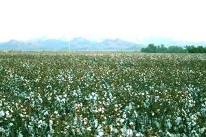 Cotton-Fields[1]