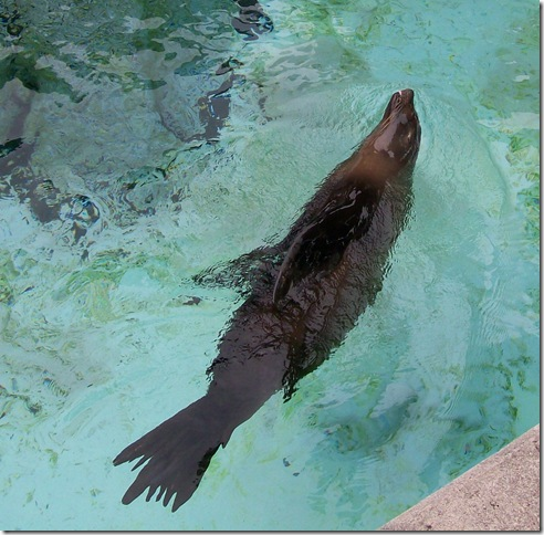zoo day144-b sea lion