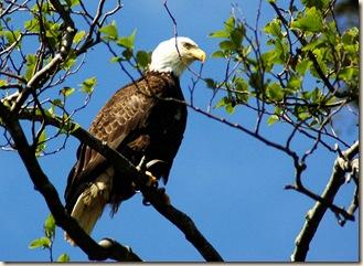 eagleblog1