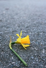 A fresh, cut daffodil lying on the road