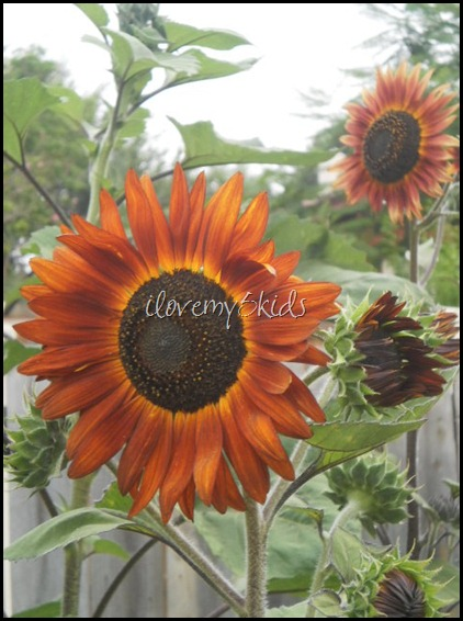 Texas Orange Sunflower