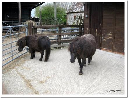Shetland ponies at Sharnfold farm.