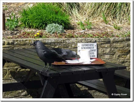 Jackdaw's clear the tables at this beach side cafe.