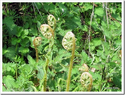 Dartmoor Fern about to burst forth.