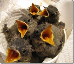 New Baby Bird Rehabbers
