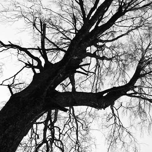 trädsiluett
