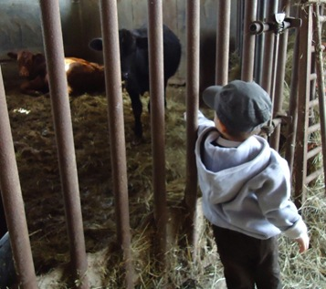 Aidan and cows