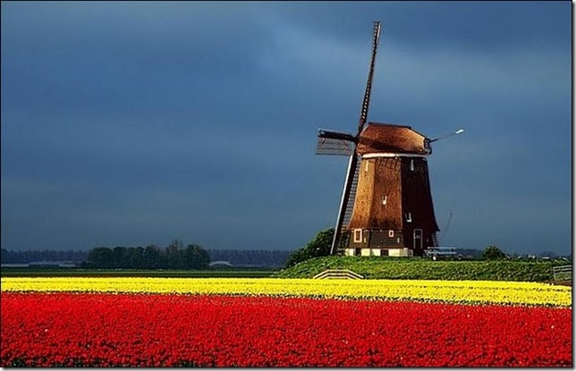 tulip-fields4