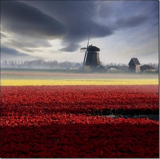 tulip-fields13