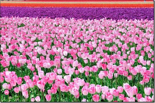 tulip-fields18