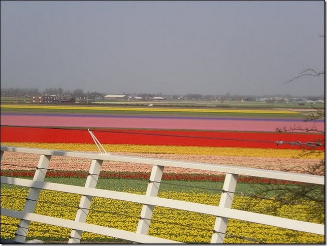 tulip-fields20