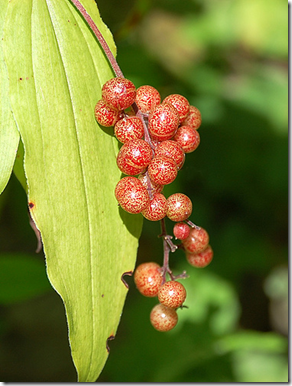 false solomon seal closeup