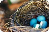 Birds nest with blue eggs