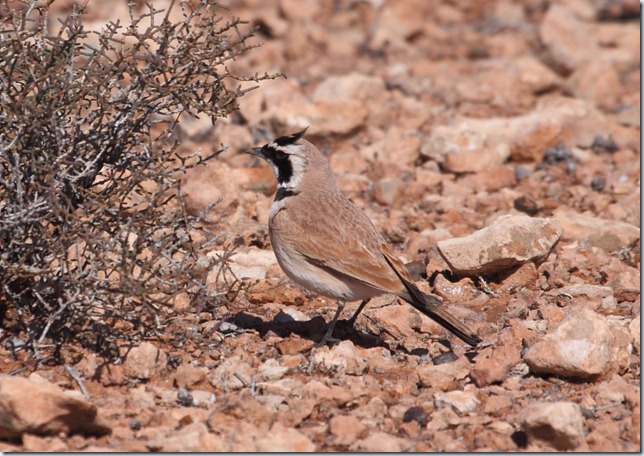temmincks_horned_lark