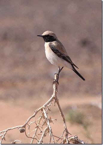 desert_wheatear