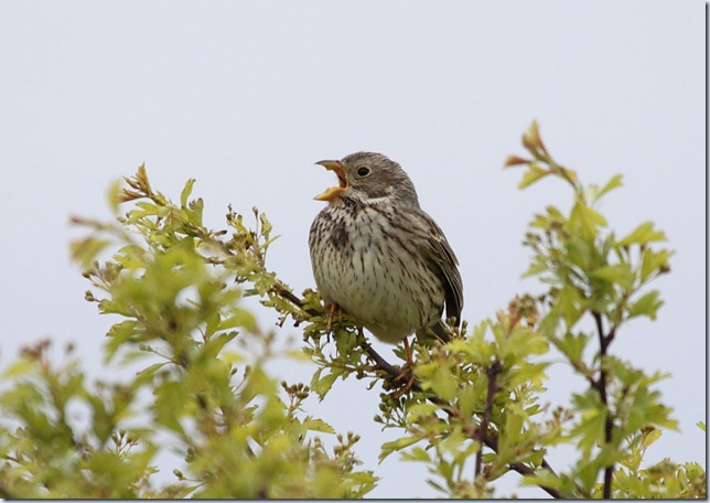 cornbunting