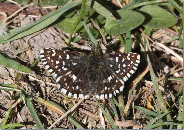 grizzled_skipper